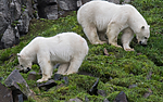 BB_20160721_0538 / Ursus maritimus / Isbjørn