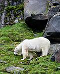 BB_20160721_0577 / Ursus maritimus / Isbjørn <br /> Vulpes lagopus / Fjellrev