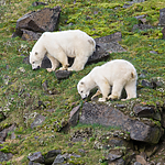 BB_20160722_0437 / Ursus maritimus / Isbjørn