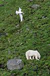 BB_20160722_0499 / Larus hyperboreus / Polarmåke <br /> Ursus maritimus / Isbjørn