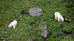 BB_20160722_0507 / Ursus maritimus / Isbjørn