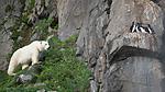 BB_20160722_0585 / Uria lomvia / Polarlomvi <br /> Ursus maritimus / Isbjørn