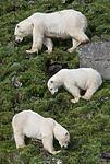 BB_20160722_0712 / Ursus maritimus / Isbjørn