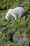 BB_20160722_0726 / Ursus maritimus / Isbjørn