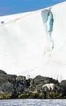 BB_20160723_0395 / Ursus maritimus / Isbjørn