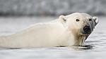 BB_20160723_0418 / Ursus maritimus / Isbjørn