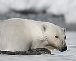 BB_20160723_0421 / Ursus maritimus / Isbjørn
