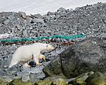 BB_20160723_0451 / Ursus maritimus / Isbjørn