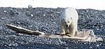BB_20160723_0517 / Ursus maritimus / Isbjørn