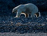 BB_20160723_0751 / Ursus maritimus / Isbjørn