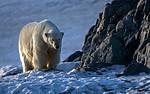 BB_20160723_0783 / Ursus maritimus / Isbjørn