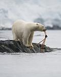 BB_20160724_0131-2 / Ursus maritimus / Isbjørn
