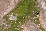BB_20160726_0364 / Rangifer tarandus platyrhynchus / Svalbardrein