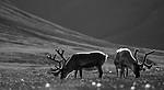 BB_20160729_0075 / Rangifer tarandus platyrhynchus / Svalbardrein