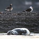 BB_20160816_0230 / Branta leucopsis / Hvitkinngås <br /> Halichoerus grypus / Havert <br /> Larus marinus / Svartbak