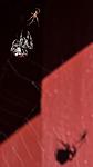 BB_20160827_0030 / Araneus diadematus