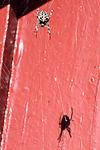 BB_20160827_0059 / Araneus diadematus