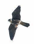 BB_20160830_0249 / Falco subbuteo / Lerkefalk
