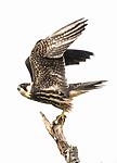BB_20160830_0520 / Falco subbuteo / Lerkefalk