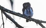 BB_20170221_0050 / Glaucidium passerinum / Spurveugle