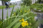 BB_20170620_0085 / Iris pseudacorus / Sverdlilje