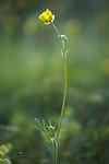 BB_20170621_0029 / Ranunculus polyanthemos / Krattsoleie