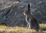 BB_20170627_0007 / Lepus timidus / Hare