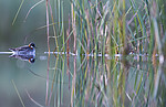 BB_20170630_0160 / Phalaropus lobatus / Svømmesnipe