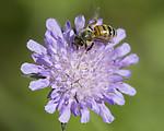 BB_20170701_0296 / Apis mellifera / Honningbie <br /> Knautia arvensis / Rødknapp