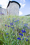 BB_20170703_0043 / Anchusa officinalis / Oksetunge