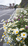BB_20170707_0024 / Leucanthemum vulgare / Prestekrage <br /> Trifolium pratense / Rødkløver