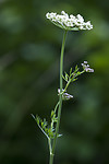 BB_20170709_0011 / Selinum carvifolia / Krusfrø
