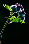 BB_20170713_0004 / Arctium tomentosum / Ullborre