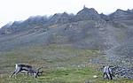 BB_20170805_0536 / Rangifer tarandus platyrhynchus / Svalbardrein