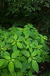 BB_20170812_0123 / Fraxinus excelsior / Ask <br /> Impatiens parviflora / Mongolspringfrø