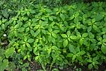 BB_20170812_0128 / Impatiens parviflora / Mongolspringfrø