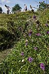 BB_20170817_0086 / Bombus lapidarius / Steinhumle <br /> Centaurea scabiosa / Fagerknoppurt