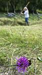 BB_20170817_0147 / Bombus lapidarius / Steinhumle <br /> Centaurea scabiosa / Fagerknoppurt