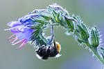 BB_20170826_0136 / Bombus lapidarius / Steinhumle <br /> Echium vulgare / Ormehode