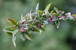 BB_20170911_0003 / Cotoneaster moupinensis / Mørkmispel
