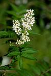 BB_20170916_0053 / Sorbaria sorbifolia / Rognspirea