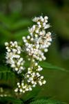 BB_20170916_0055 / Sorbaria sorbifolia / Rognspirea