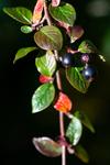 BB_20170918_0146 / Cotoneaster lucidus / Blankmispel