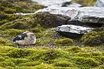BB_20170924_1190 / Lemmus lemmus / Lemen