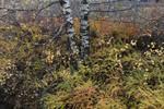 BB_20171030_0018 / Berberis thunbergii / Høstberberis <br /> Betula pendula / Hengebjørk
