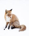 BB_20180219_1671 / Vulpes vulpes / Rødrev