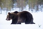 BB_20180416_0138 / Ursus arctos / Brunbjørn