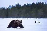 BB_20180417_0302 / Corvus corax / Ravn <br /> Ursus arctos / Brunbjørn