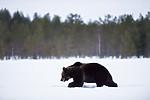 BB_20180417_0364 / Ursus arctos / Brunbjørn