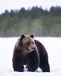 BB_20180417_0602 / Ursus arctos / Brunbjørn
